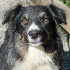 Meet Alvin, an adoptable Australian Shepherd Dog | Garfield Heights, OH | To make the adoption process faster and easier, please visit www.caninelifeline.org to submit an...