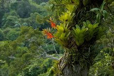 Amazon rain forest canopy view with flowering Bromeliad epiphytes growing on a branch of a giant Ceiba tree.<br /> <br /> Tiputini Biodiversity Station, Amazon Rain Forest, Ecuador.
