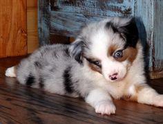 Blue Merle toy Aussie pup