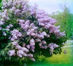 Orgona Syringa - gazigazito.hu Ale, Lilac, Vegetables, Karma, Green, Flowers, Plants, Ale Beer, Syringa Vulgaris