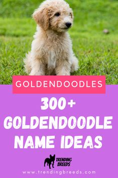 We've included OVER 300 Goldendoodle names, organized by size and popular colors, and have added tips to help you generate your own ideas. Pick the perfect name for your new puppy. Girl Puppy Names Unique, Cute Dog Names Boy, Puppy Girl Names, Brown Dog Names, Puppies Names Female, Dog Names Unique, Female Dog Names, Pet Names, Goldendoodle Names