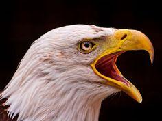 Eagle Head, Animal Pictures, Carving, Birds, Wallpaper, Animals, Bald Eagles, Buffalo, Nice