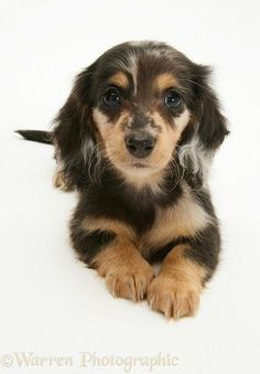 Photograph of Silver Dapple Miniature Long-haired Dachshund pup. Rights managed white background Dog image. Dachshund Funny, Dachshund Breed, Long Haired Dachshund, Dachshund Love, Daschund, Cute Puppies, Cute Dogs, Dogs And Puppies, Doggies