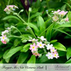 If you're looking for a shade plant, this is it! A darling, small, compact variety, Victoria Pink's eye-catching, petite, star-shaped flowers are perfect for the front of the garden, or as a companion to spring bulbs. Read more: https://www.botanicalinterests.com/product/forget-me-not-victoria-pink-seeds/