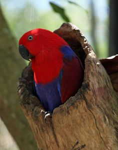 A female Eclectus Parrot in captivity at the opening of its nesting hollow.