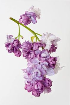 Lilac_before