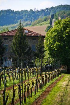 vineyard, outside of Bologna....sun-warmed Italian countryside