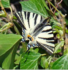 Vous connaissez le Machaon, grand porte-queue ?    Je l'ai rencontré aujourd'hui, dans une prairie des Bouches du Rhône. Grand et magnifique papillon de 5 à 7 cm, peu farouche, aux couleurs étonnantes. Le voilà :