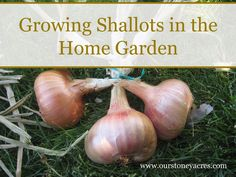 Growing Shallots in the Home Garden is easier than you might think. Here's a look at how to get a great harvest next summer!: