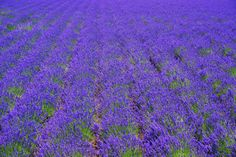 Field of lavender, Furano, Japan by Chihako