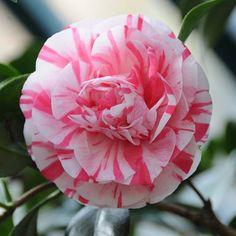 rose of the #winter Camelia japonica 'Bella Romana' #nofilter #gewächshaus #garten #greenhouse #garden #nature #beautiful #flower #photooftheday www.alitex.de