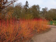 The Arctic Fire Red Twig Dogwood is an amazing Bold Red Color Brightens Your Winter Landscape. The Red Twig Dogwood grows in full sun to part shade. Dogwood Trees, Flowering Trees, Emerald Green Arborvitae, House Plant Delivery, House Plants For Sale, Winter Fire, Fire Pit Area, Sun And Water, Plants