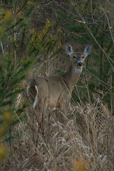 White Tail Deer - they stroll thru the woods and along the back treeline frequently, but blend in so well you don't see them unless they are moving.