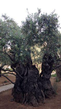 The Garden of Olives at Mt Olives Jerusalem Israel
