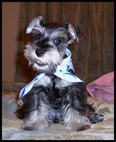 Darling mini schnauzer puppy! #mini #schnauzer #puppy