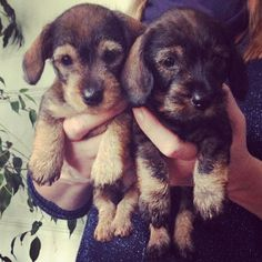Dachsund puppies ♡