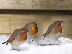 Three little robins ...  <3