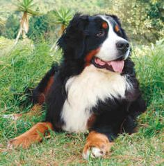 Total gentle giants - Bernese mountain dogs.  They are beautiful:)