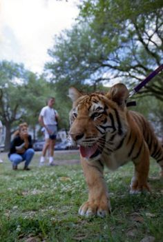 LSU tiger mascot Mike V as a cub in 1990. Mike V's first road trip was to the Superdome in December 1991 for a basketball game against Texas (which with the help of Shaquille O'Neal, the Tigers won, 84-83). During his tenure, Mike V reigned over a football national championship, five baseball national championships and a remarkable 23 track and field championships. He saw LSU sports teams win 37 Southeastern Conference titles from 1990 to 2007.