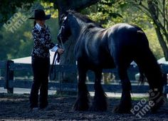 The Friesian horse originated in 500BC in Friesland, a province of the Netherlands (Holland). During the 16th & 17th centuries, Arabian bloo...