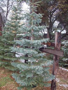 1000 Images About Our Silvertip Fir Christmas Trees On