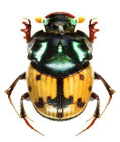 Onthophagus (Paraphanaeomorphus) argyropygus