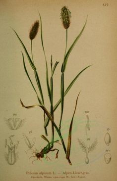 plants-06898 - phleum alpinum [2267x3518] qulity high lithographs 1700s  botanical 1800s 1900s collection 17th herb leaf vintage wall Paper instant Victorian public free paintings 300 dpi nice scan leaves flora art beautiful engravings download scrapbooking century ornaments picture transfer old decoration domain commercial ArtsCult.com collage pre-1923 illustration Graphic Pictorial pages grass supplies natural books ArtsCult nature plants printable royalty blooming botany craft Edwardian…