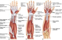 10.5 A muscle's origin and insertion determine its action: Human Anatomy and Physiology