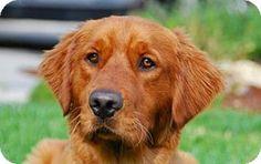 Los Angeles, CA - Golden Retriever. Meet Rayme, a dog for adoption. http://www.adoptapet.com/pet/12511842-los-angeles-california-golden-retriever
