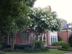 Natchez crepe myrtle with pretty front yard landscape Crepe Myrtle Landscaping, Hedges Landscaping, Front Yard Landscaping, Landscaping Ideas, Dry Garden, Garden Trees, Lawn And Garden, Lawn And Landscape, Shrubs
