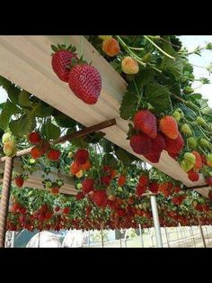 Hanging strawberries!