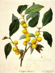 Historical botanical illustration of the day: Diospyros lotus