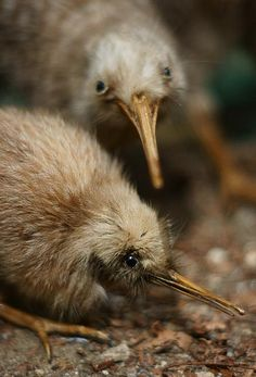 A pair of Kiwis, an unique creature loaded with sensory powers. Kiwi have a highly developed sense of smell, unusual in birds. Because their nostrils are located at the end of their long beaks, kiwi can locate insects and worms underground using their keen sense of smell, without actually seeing or feeling them. The Māori believe that kiwi are under the protection of Tane Mahuta, god of the forest