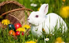 The Easter bunny getting ready - Wuvely