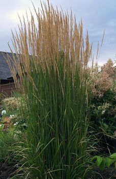 Calamagrostis x acutiflora 'Karl Foerster' /Feather Reed Grass. Zone 3. Blade 3-4' tall, bloom 5-7.5' tall. Blooms June through July.