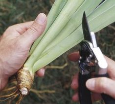 How to Grow, Maintain, and Divide Bearded Iris. Helpful article with specific information and pictures.