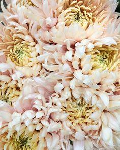 Avignon' Chrysanthemums