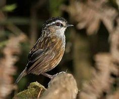 Mountain wren-babbler