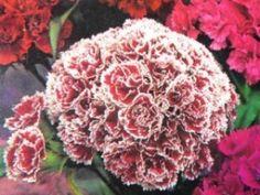 SzentesiMag | Törökszegfű dupla, szk. vetőmag rendelés Dianthus Barbatus, Herbs, Herb, Medicinal Plants