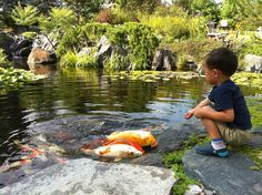 """Kids are amazed by friendly koi. These quirky critters were brave enough to """"crawl"""" out of the water for the food that dropped onto the rock!"""