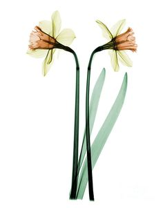 X-ray Of Daffodil Flower Photograph  - X-ray Of Daffodil Flower Fine Art Print