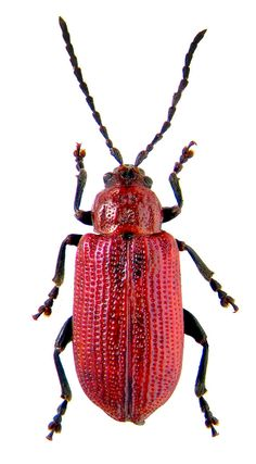 songariola punctatistriata