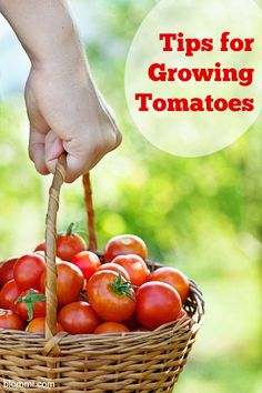 Tips for Growing Tomatoes - Mom Foodie - Blommi