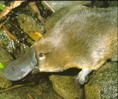 The platypus & I have much in common.