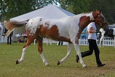 Gorgeous tobiano/blanket pintaloosa coloring! - my perfect mix of markings!!!<3