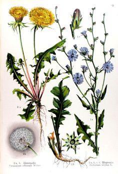 img/gravures anciennes de fleurs/gravure couleur ancienne de fleur - Taraxacum officinale; Cichorium intybus.jpg