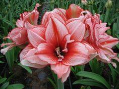 Amaryllis Bulbs (Double) - 'Princess' Indoor Plant Any Season