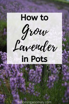 The lavender plant is a great way to add color and fragrance to your space outdoors. There are different types you can choose from, such as English and French lavender. Learn more by clicking on the pin and reading about how to grow lavender in pots. Types Of Lavender Plants, English Lavender Plant, Lavender Potted Plant, Lavender Planters, Lavender Plant Care, Growing Lavender, Lavender Flowers, Lavender Fields, Purple Roses