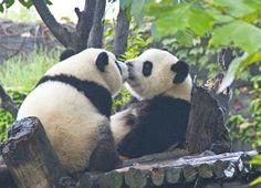kiss kiss pandas