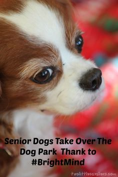 Senior Dogs Take Over the Dog Park Thanks To #BrightMind - Two Little Cavaliers #sponsored
